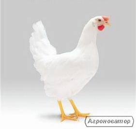 Інкубаційне яйце Ломан Вайт (можлива доставка по Україні)