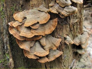 Мицелий Гименохеты красно-бурой / Гименохета дубовая (Hymenochaete rubiginosa)