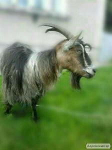 продаю козу терміново