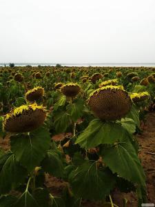 Семена подсолнечника Приват, Екватор