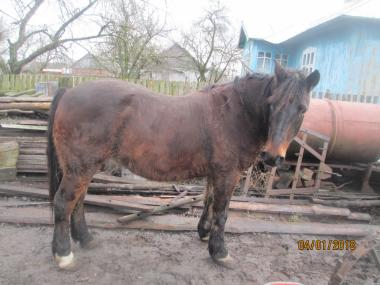 Кінь або кобила