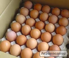 Яйцо бройлеров кобб-500 росс-308-708 яичные и мясояичные породы,кросы.