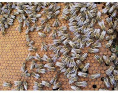 Бджолопакети Вучківський тип
