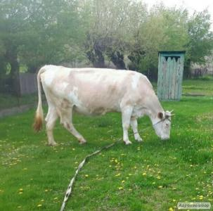 Продам хорошую молочную корову