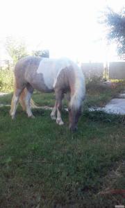 Поні кобила