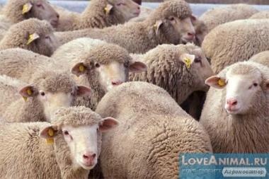 Продам овец порода Прекос м'ясна живым весом