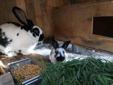Продам молодняк кролів строкачей.