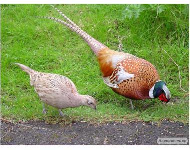 Яйце мисливського фазана