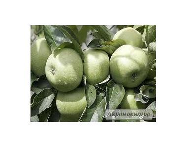 Саджанці яблуні сорту Ренет Кубанський, від виробника