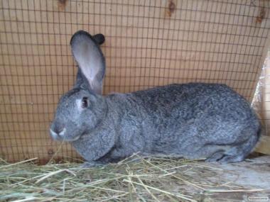 Кролики породы шиншилла