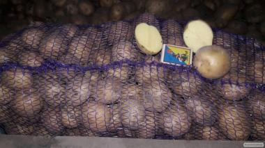 Купити насіннєву картоплю Рів'єра і Белароза
