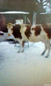 Продається  червоно-біла  корова
