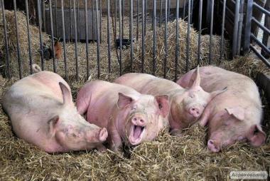 Продам 10 свиней (Белая крупная)