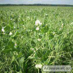 Семена гороха Готивский, элита - 1 репродукция.