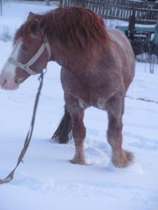 породам коня ваговоза
