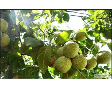 Продам саджанці грецького горіха Ідеал 3х-річка