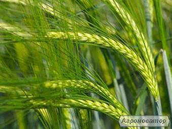 Продам высокоурожайный посевной материал озимой пшеницы и ячменя