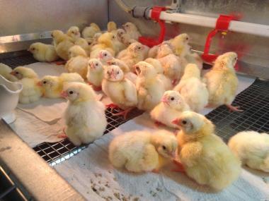Цыплёнок бройлер РОСС-308