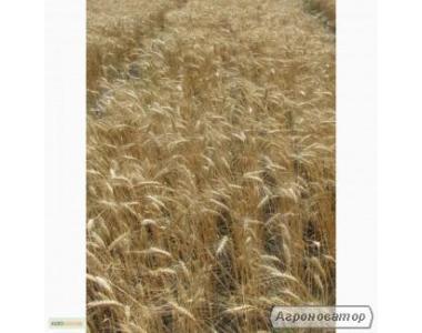 Семена пшеницы озимой - сорт Пошана. Элита и 1 репродукция