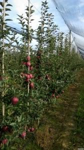 Яблоки польськие от производителя в Польше