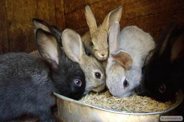 У продажу завжди є кролики, молодняк та спаровані крольчихи