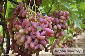 Саджанці винограду Преображення