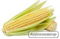 Купити насіння кукурудзи ДС 0479 Б