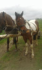Продам робочих коней