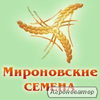 Семена гречихи сорта