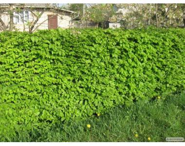 Саженцы сеянцы граба (грабник) для живой изгороди