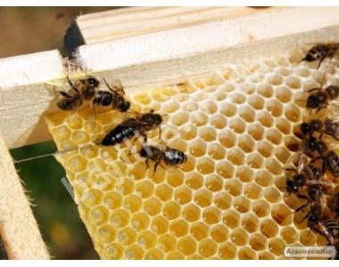 Бджоломатки Карпатської породи c бджолоросплідника в 2018 році