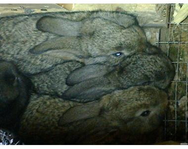 продам кроликов возраста  40 и 100 дней