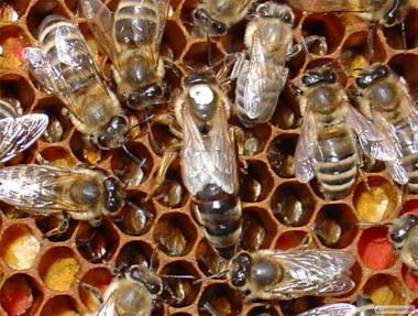 Бджоломатки Карпатка