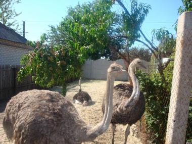 племенные страусы производители
