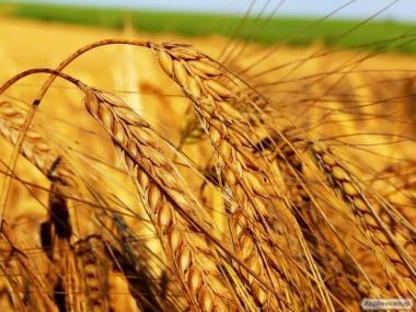 Продам пшеницу мягкую 2 и 3 класс.