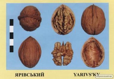 Саджанці горіха волоського сорт Ярівський