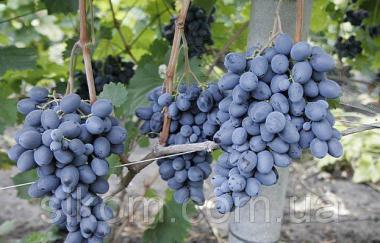 Виноград темно-синій ранній Фуршетний