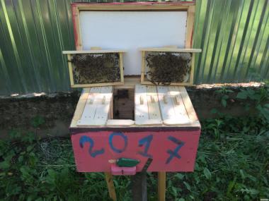 Пчеломатки КАРПАТКА Плодные матки 2018 года (Бджоломатка, Пчелиные)