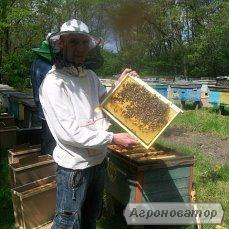бджолопакети карпатської породи бджіл