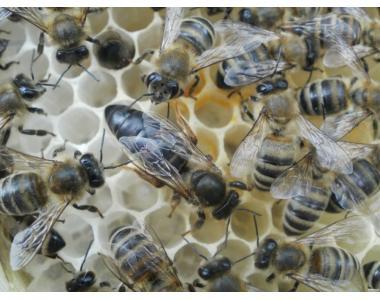 пчеломатка карпатка