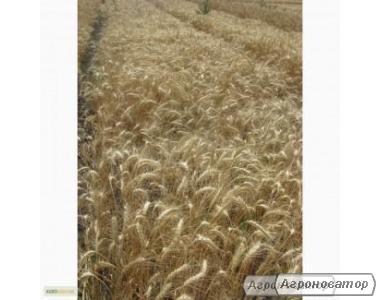 Насіння пшениці озимої - сорт Одеська 267. Еліта й 1 репродукція