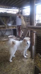 Піренейська гірська вівчарка