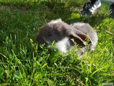 Кролики м'ясо-шкуркових порід