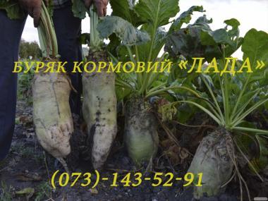 Семена кормового буряка (свекла) «Лада»(от производителя!)
