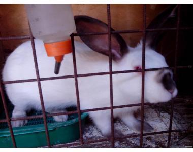 Продажа кроликов Калифорнийской породы