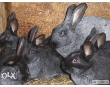 """Продам кролів породи """"Полтавське срібло"""""""