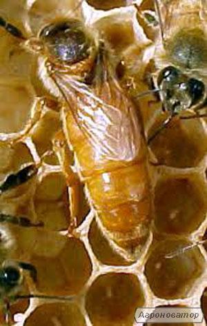 Бджоломатки італійська порода .