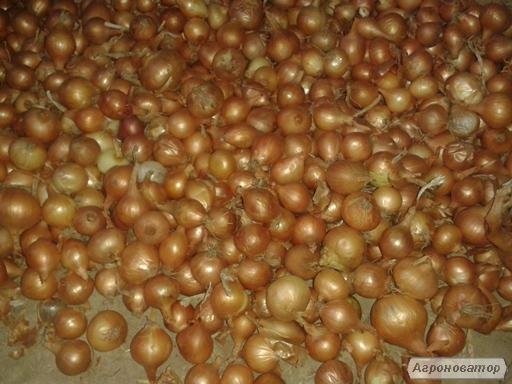 Продаем лук севок, сеянку, арпаш партиями по Украине