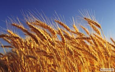 Пшениця 3-й клас від 5000 тонн