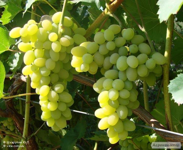 Саженцы винограда сорт Плевен